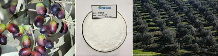Chinese Herbal Extract 40% Oleanolic Acid Powder