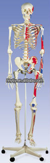 human skeleton model/ Medical Model/Muscle Skeleton Max, on 5 feet roller stand/