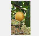 2019 new crop Fresh pear/Fengshui pear