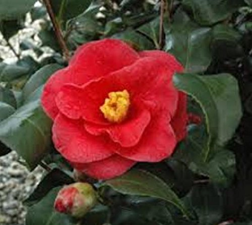 Get Quotations  C2 B7 Greensboro Red Camellia Japonica Live Plant Quart Pot