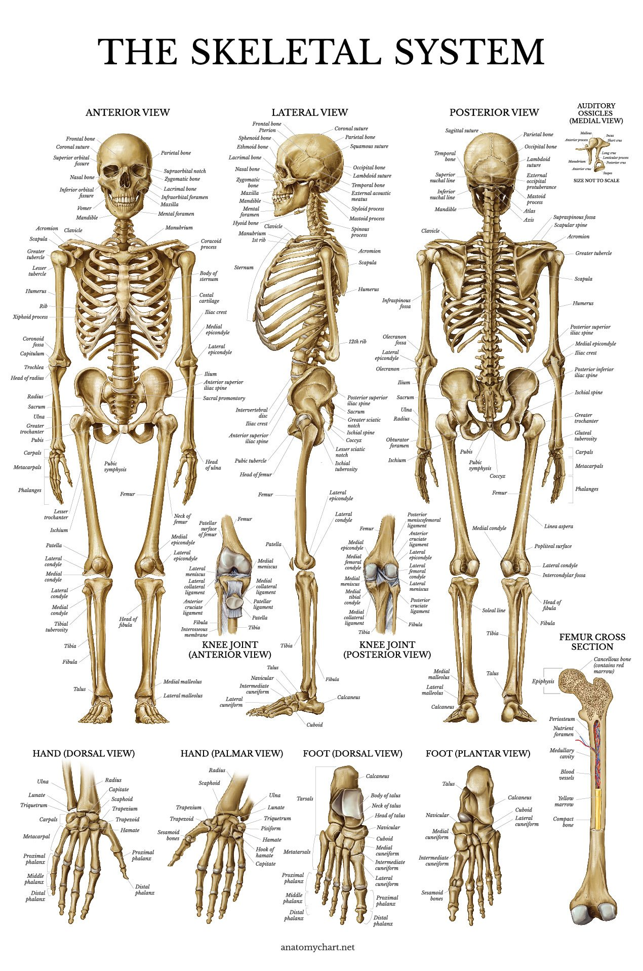 Cheap Anatomical Skeleton For Sale  Find Anatomical Skeleton For Sale Deals On Line At Alibaba Com