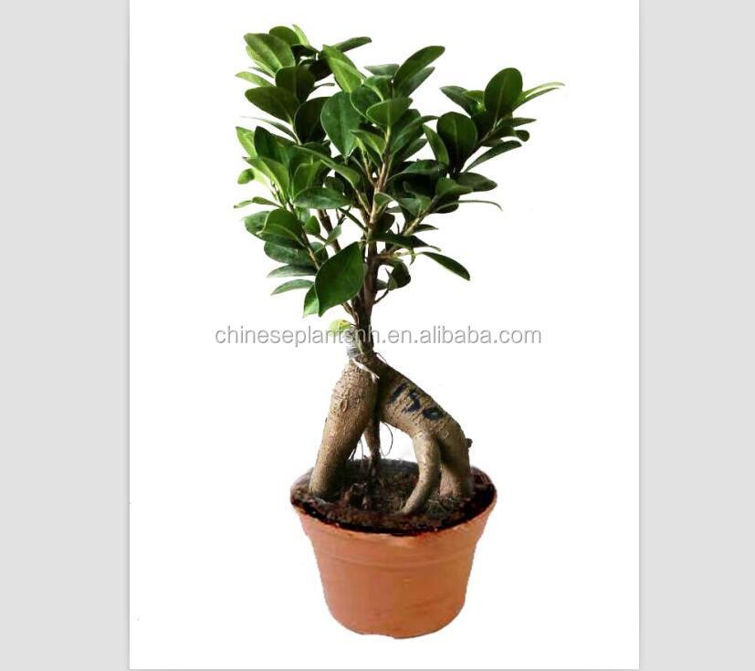 150g Ginseng Grafted Ficus Bonsai,Ginseng Ficus,Bonsai Trees Live ...