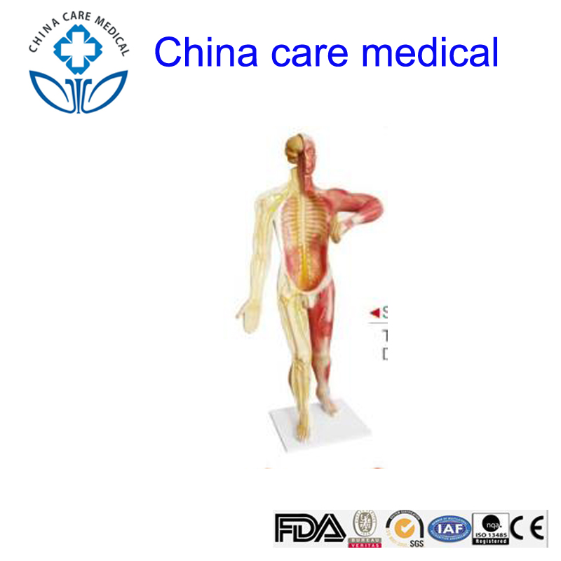 Human Nervous System Model Wholesale System Suppliers Alibaba
