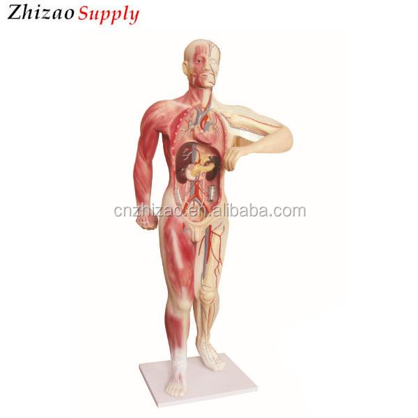 Human Whole Body Blood Vessel Circulatory System Model Buy Human
