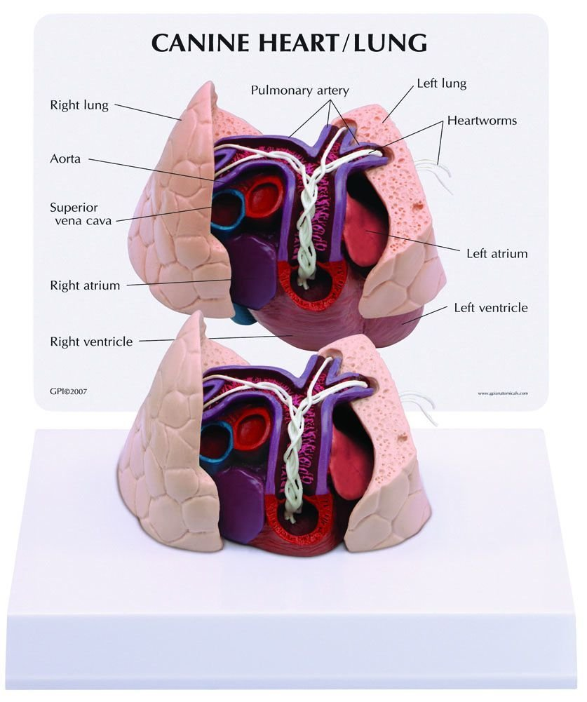 Buy Canine/Dog Heart & Lung Anatomy/Anatomical Model #9151 in Cheap ...