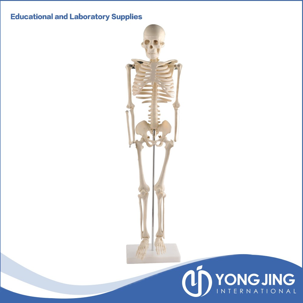85 Cm Pequeño Esqueleto Humano - Buy Product on Alibaba.com