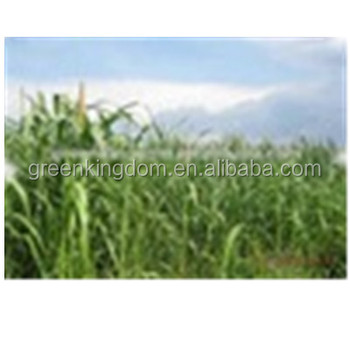 Sell Tropical High Yield Chinese Forage Pennisetum of America Grass Seed