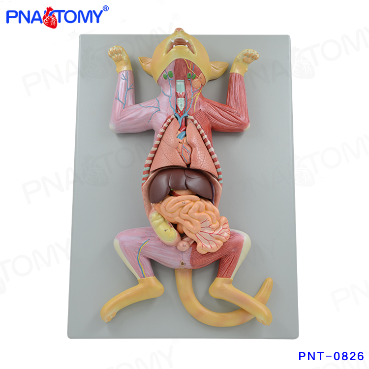 Cat Anatomical Model, Cat Anatomical Model Suppliers and ...