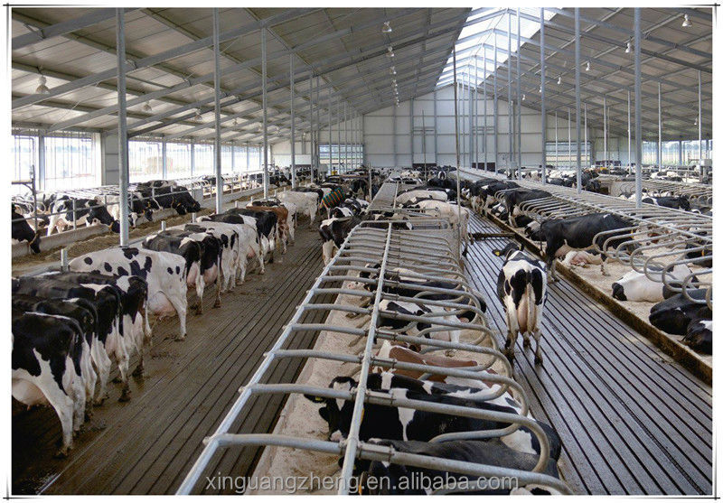 Prefabricated Steel Structure Dairy Farm Shed For Cow