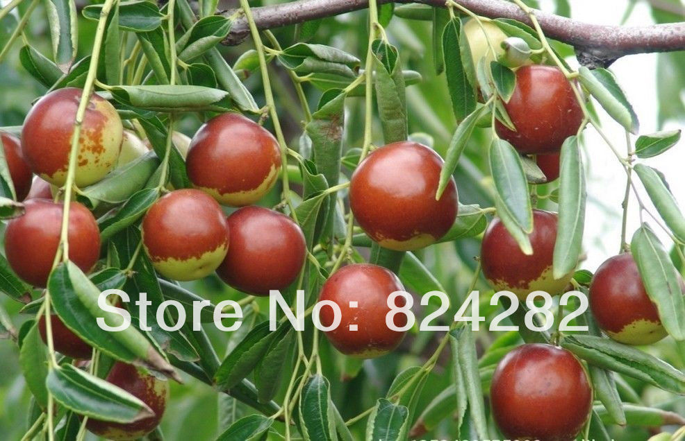 chinese winter jujube three year tree s grow your own. Black Bedroom Furniture Sets. Home Design Ideas