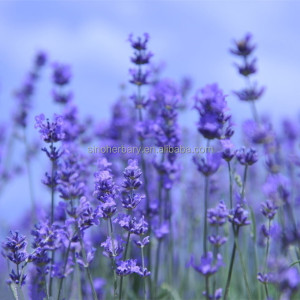 2018 100% Pure nature lavender essential oil