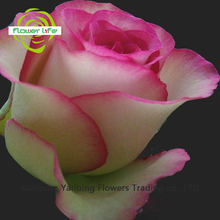 Beautiful China Flower Rose Double Pink Importers And China Heliconia Flower