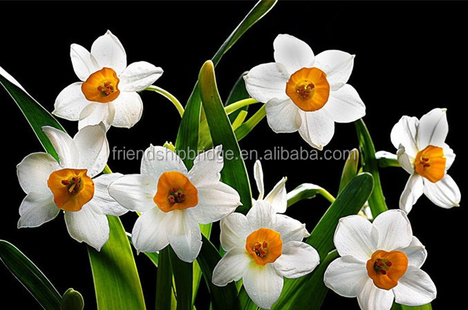2 Bulbs Bulbs Sacred Lily Daffodil Polyanthus Narcissus Narcissus tazetta Flowering