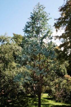 Eucalyptus Globulus -blue Gum Seeds,Gum Tree,Australian Flora ...