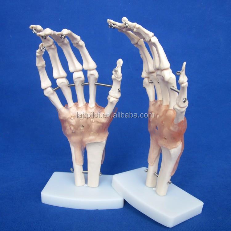 Anatomische Menschlicher Handgelenk Modell, Hand Knochen Modell ...