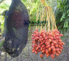 Used in Middle East, Insect Prevention Date Palms Bag