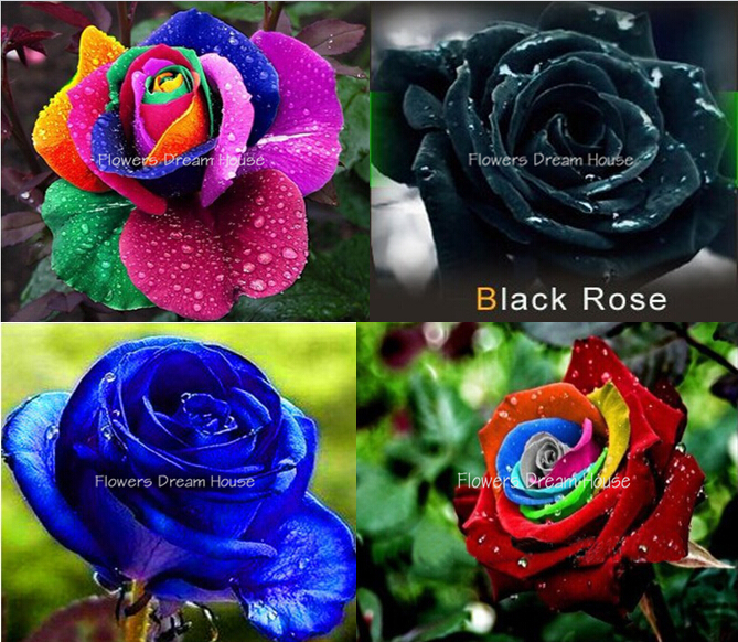 Muted Blue And Floral Red: Bonsai-flower-seeds-200pcs-Rainbow-Rose-seeds-Blue-Pink