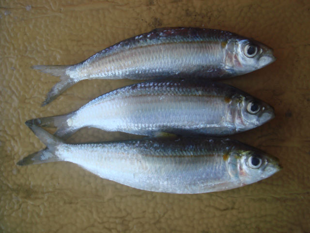 Image result for ikan haring