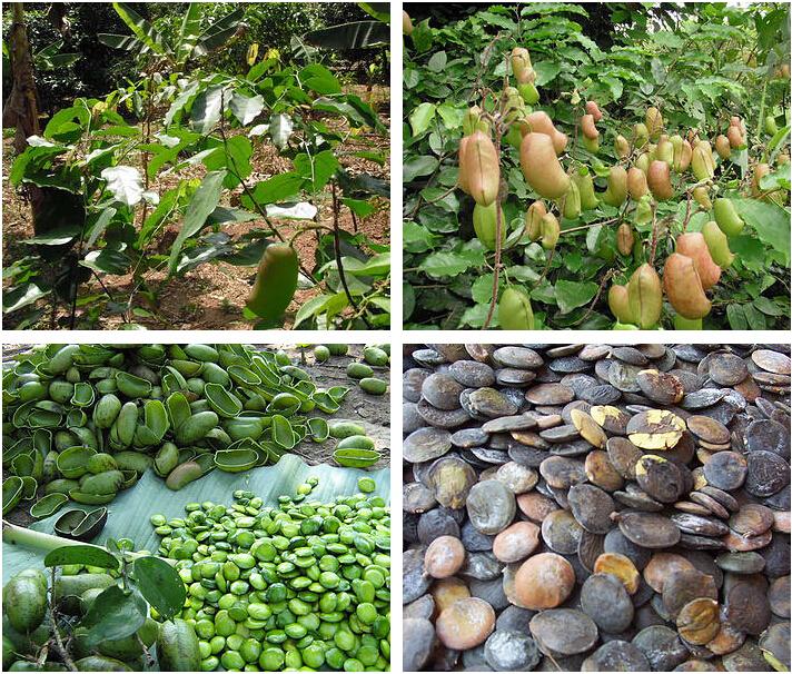 100 natural 5htp 98 99 hplc griffonia simplicifolia for 5 htp plante