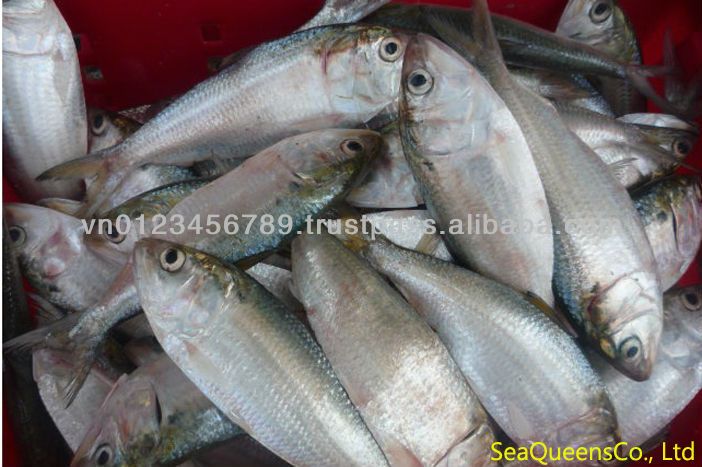 FROZEN WHOLE FROZEN DOTTED GIZZARD SHAD FISH