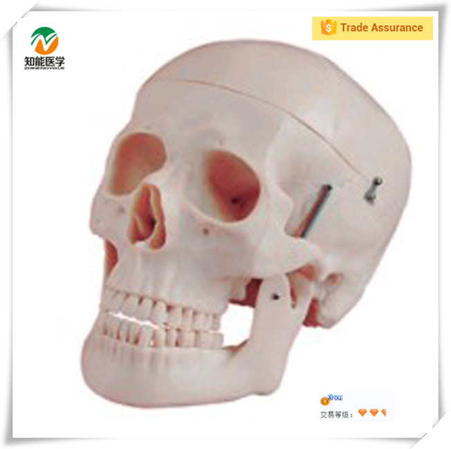 Skull Anatomy Model, Skull Anatomy Model Suppliers and Manufacturers ...
