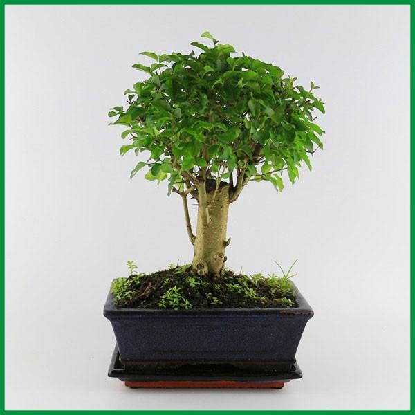 Cinese bonsai alberi in vendita ligustrum bonsai con 15 cm for Alberi in vendita