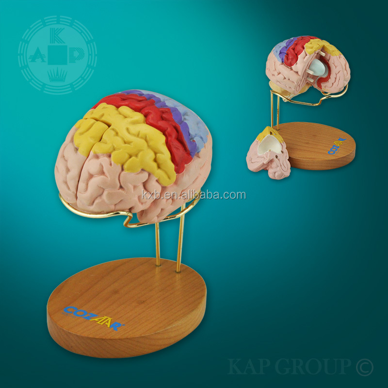 A08-007 Nueva Base Plástico Anatomía Cerebro Humano Modelos Para ...