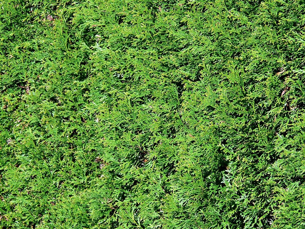 Buy Green Giant Arborvitae Tree Thuja Live Plant
