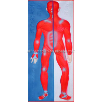 Muscular System Model for teaching