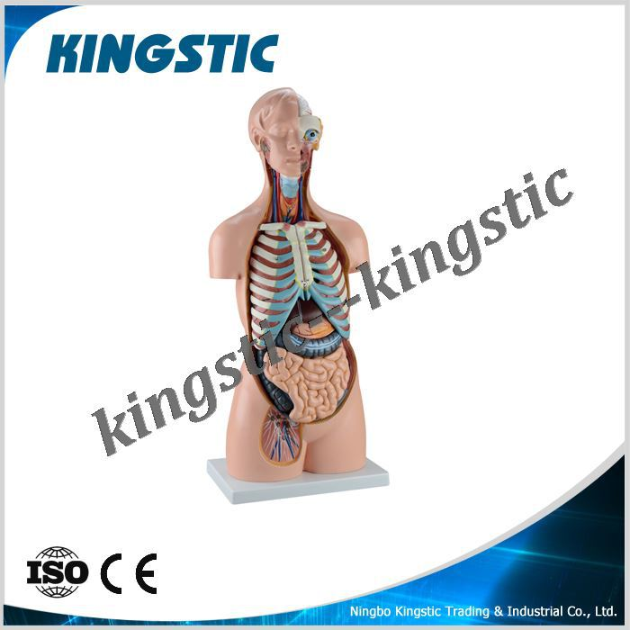 85cm Sexless Torso 20 Partshuman Anatomyanatomical Modelhuman