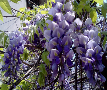 Wisteria tree seeds chinese wisteria sinensis seeds vine purple wisteria tree seeds chinese wisteria sinensis seeds vine purple flowers bonsai seeds for planting mightylinksfo