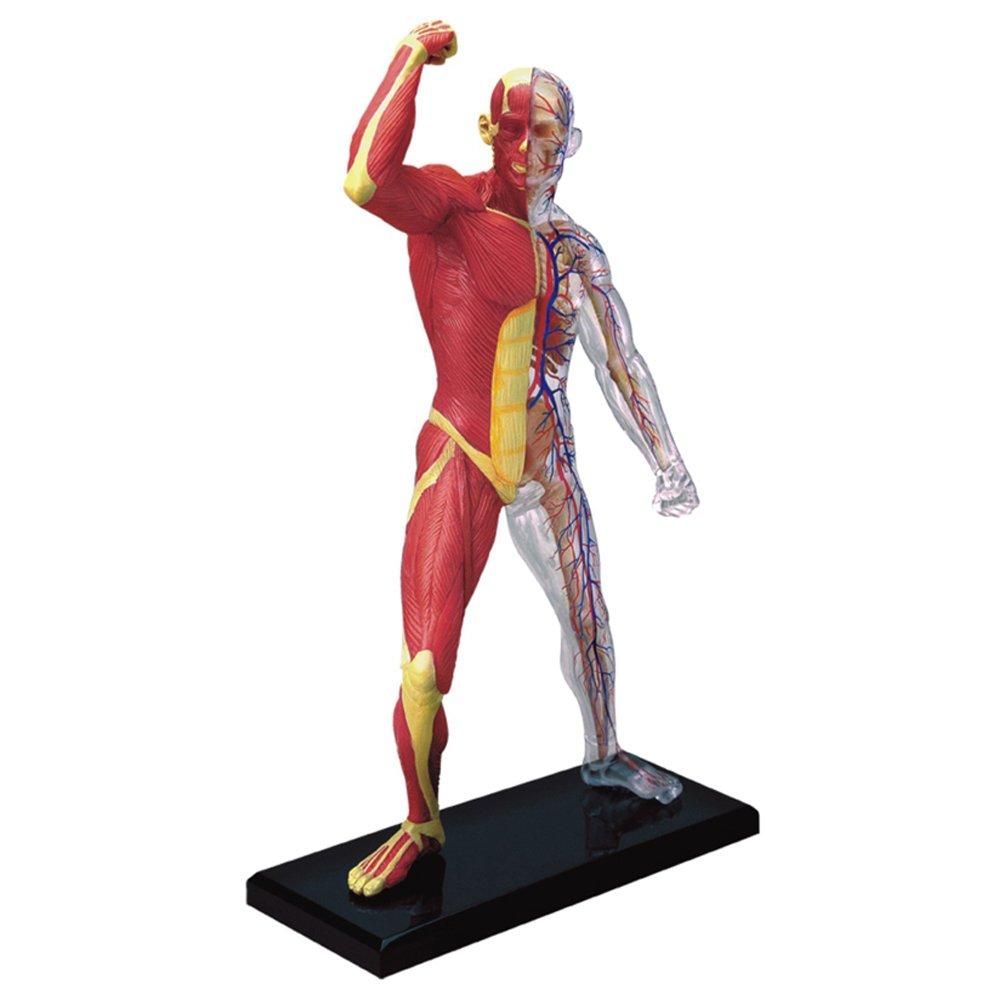 Famemaster 4D-Vision Human Skin Anatomy Model by Fame Master