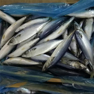 wholesale products scombner pacific mackerel fish frozen blue mackerel