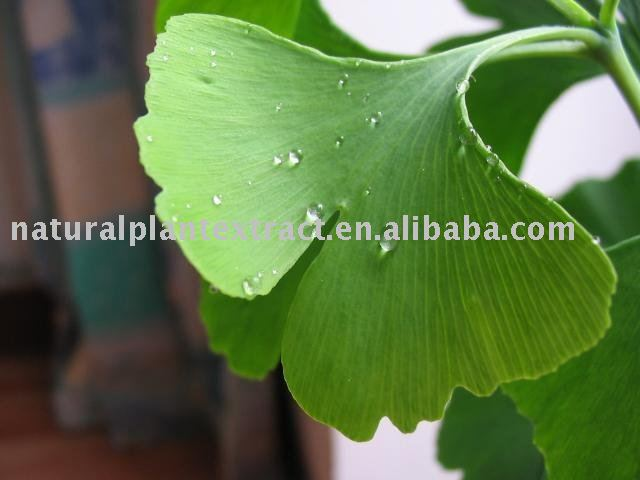 Natural Ginkgo biloba leaf extract 24/6