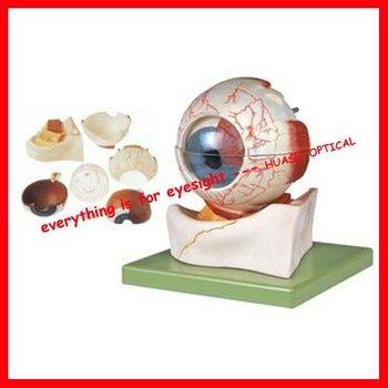 Eyeball Modeleye Anatomy Of The Structure Modelenlarge 5 Times