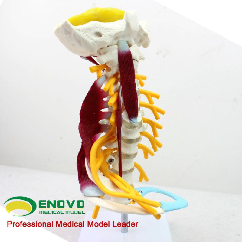 Venta al por mayor la médula espinal esqueleto 12385 tamaño completo ...