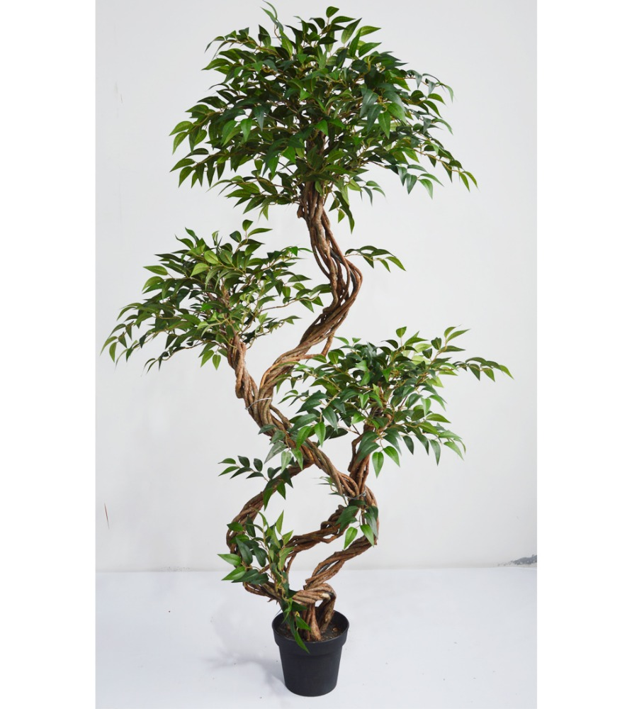 indoor ficus trees indoor ficus trees suppliers and at alibabacom - Ficus Trees