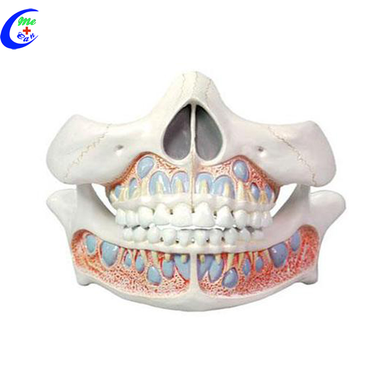 China Dental Anatomy, China Dental Anatomy Manufacturers and ...