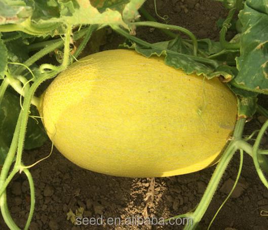 Shuangxing híbrido Hami melón dulce semilla para la venta al por mayor CKM No.3