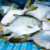 sell superior quality frozen new Pomfret