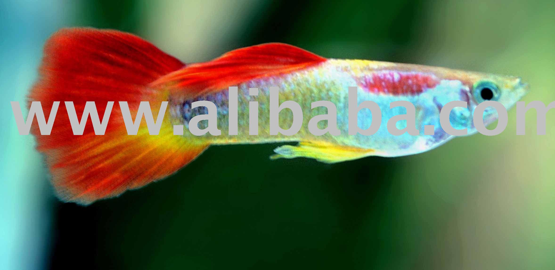 Fish aquarium in sri lanka - Sri Lanka Pet Fish Sri Lanka Pet Fish Manufacturers And Suppliers On Alibaba Com