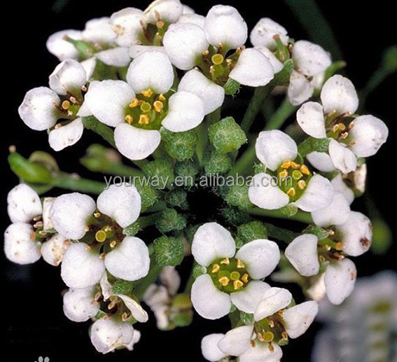 Sweet alyssum , Lobularia, flower seeds , herb seed,vegetalbe seed,fruit seed,grass seed