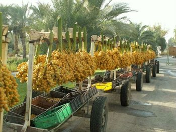Barhee Edible Date Palm Tree Rare Phoenix Dactylifera Yellow Dates