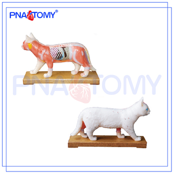 Pnt-am45 Cat Acupuncture Model Animal Anatomical Model - Buy Animal ...