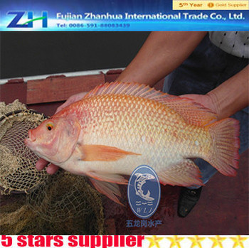 New Arrival Red Tilapia Tilapia Wholesale Price Frozen Fish ...