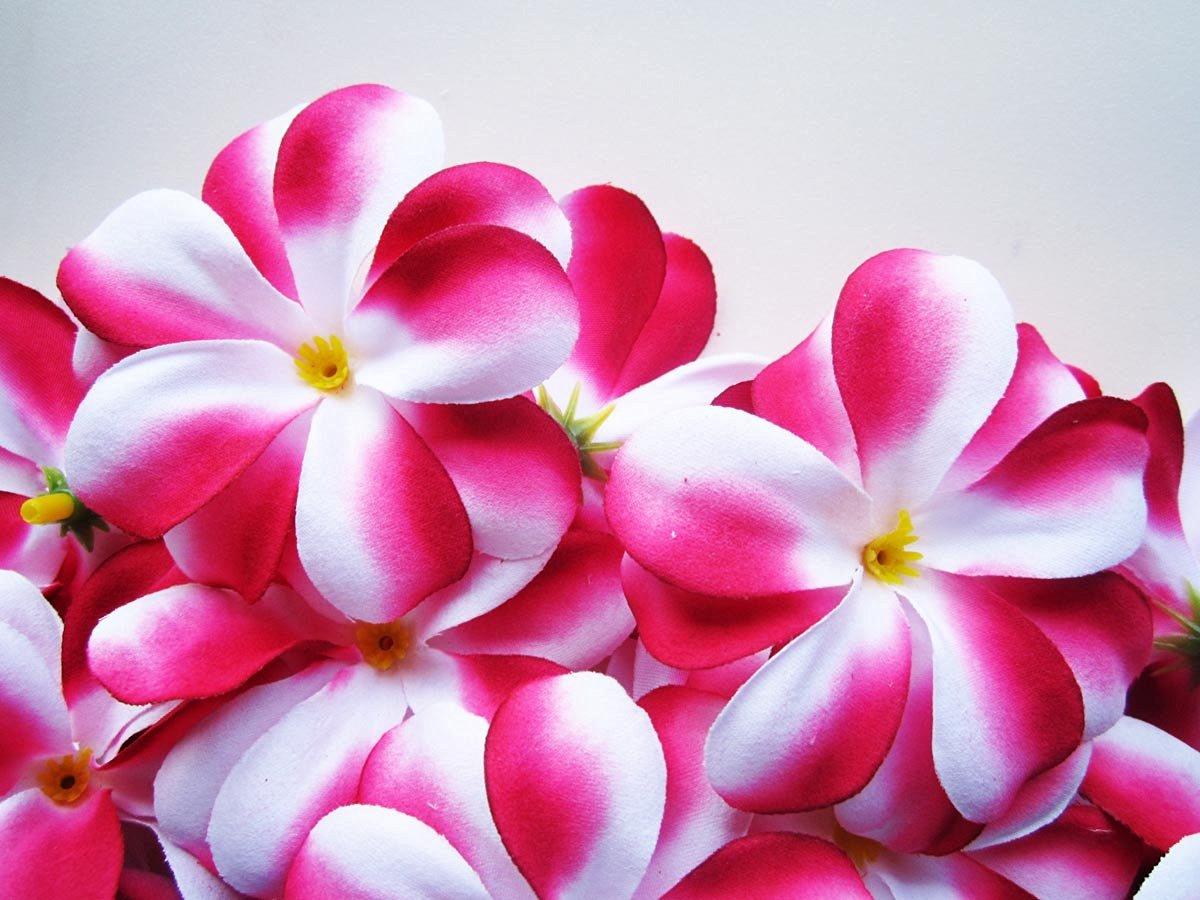 Buy 24 hot pink white hawaiian plumeria frangipani silk flower 24 hot pink white hawaiian plumeria frangipani silk flower heads 3 izmirmasajfo