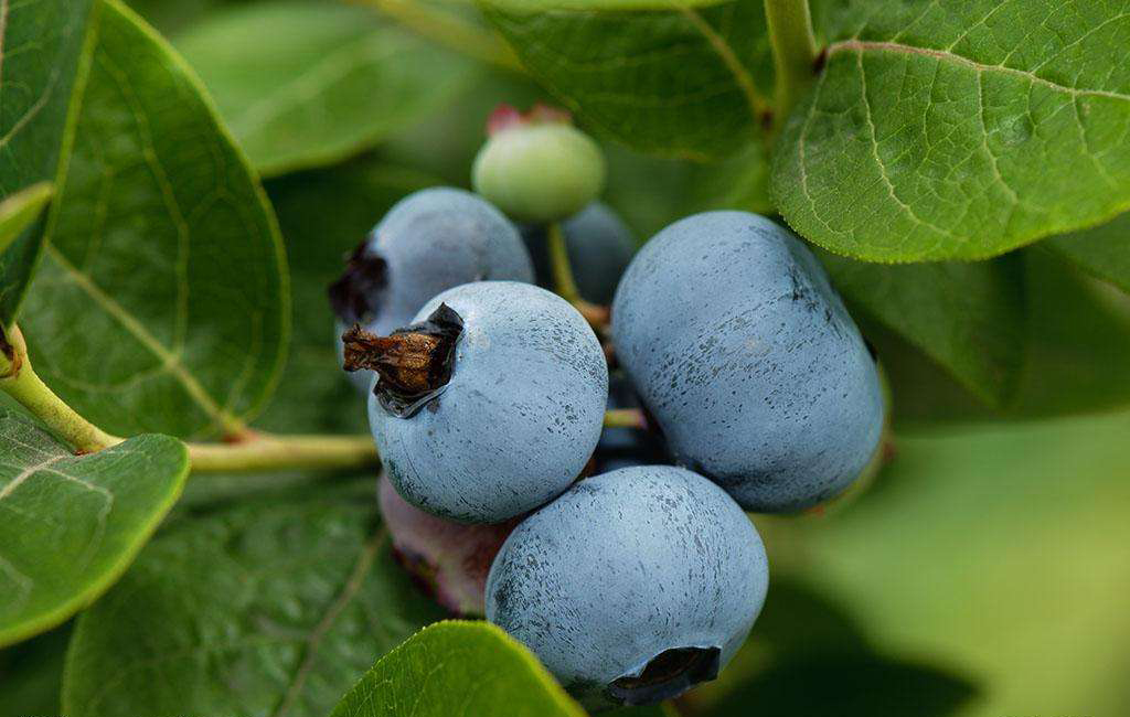 Natural Bilberry plants for sale, Bilberry Extract Powder ,Bilberry Fruit Extract for juice