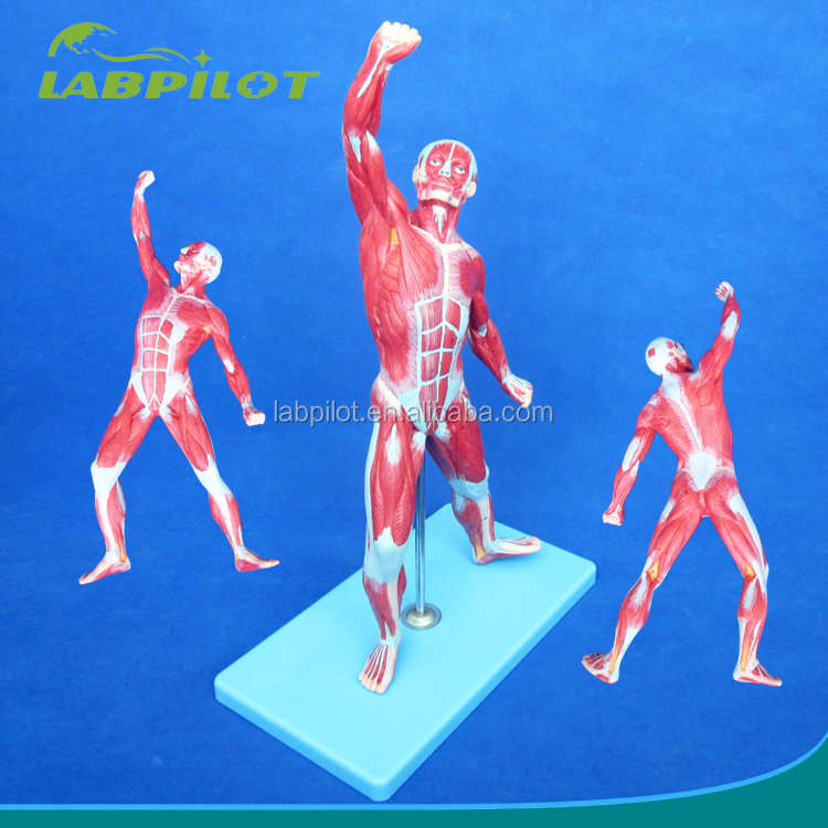 Muy detallada 50 cm los músculos del cuerpo humano modelo-Ciencia ...