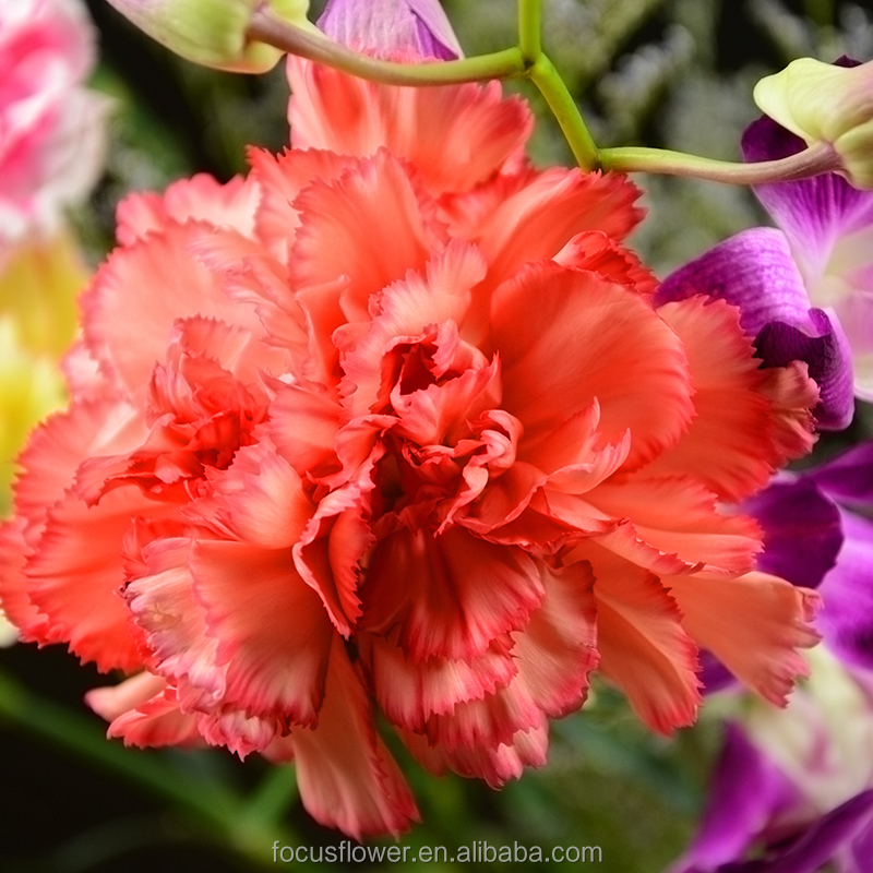 perennial flowering plant ribbon carnations from china kunming