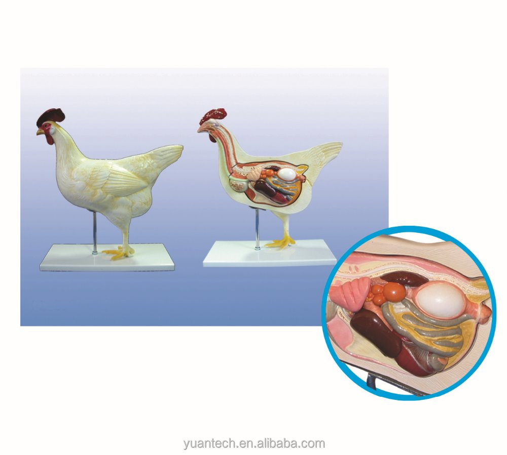Life Size Hen Torso And Trunk Anatomy Model - Buy Hen Anatomical ...